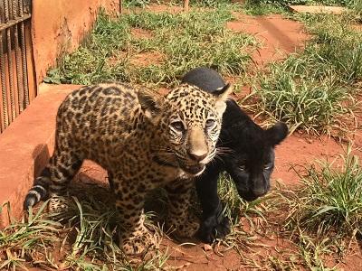 Zoológico de Goiânia reproduz espécie ameaçada de extinção